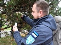 Helkuripuu ehtimisel Pärnu Lastepargis. Foto: Urmas Saard / Külauudised