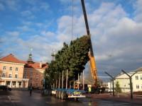 004 Hõbenulg on Otepääl käesoleva aasta jõulupuu. Foto: Monika Otrokova