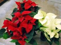 001 Jõulutähed toa tingimustes ja erinevas vaates