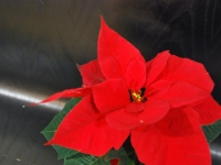 003 Jõulutähed toa tingimustes ja erinevas vaates