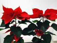004 Jõulutähed toa tingimustes ja erinevas vaates