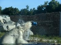 Jääkaru Aron lemmikmänguasjaga Tallinna loomaaias. Foto: Urmas Saard / Külauudised