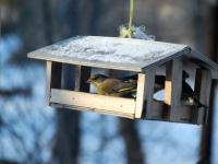 003 Lindude talvine toitmine Foto Urmas Saard