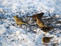 004 Lindude talvine toitmine Foto Urmas Saard