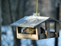 005 Lindude talvine toitmine Foto Urmas Saard