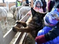 072 Alpakafarmis, Rohelise Jõemaa Koostöökogu ühepäevakohvikud. Foto: Urmas Saard