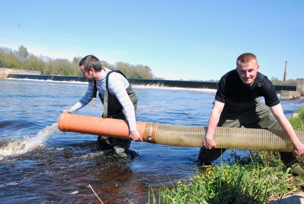Üheaastaste lõhemaimude Pärnu jõkke laskmine Foto Urmas Saard