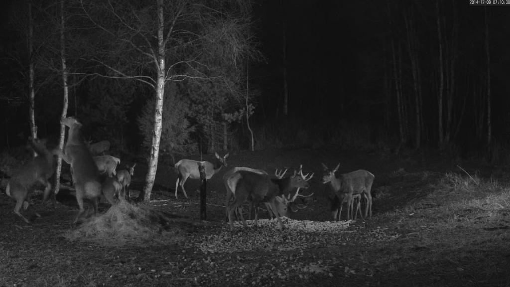 Sel nädalal jäi RMK hirvekaamera ette Saaremaal korraga lausa 16 looma, sellist seltskonda pole seal varem nähtud! Videolõiku ning veidi pikemat kirjeldust hirvede varahommikuste toimetuste kohta leiab RMK loodusvaatlusblogist http://www.rmk.ee/organisatsioon/loodusvaatlusblogi. Allikas: RMK