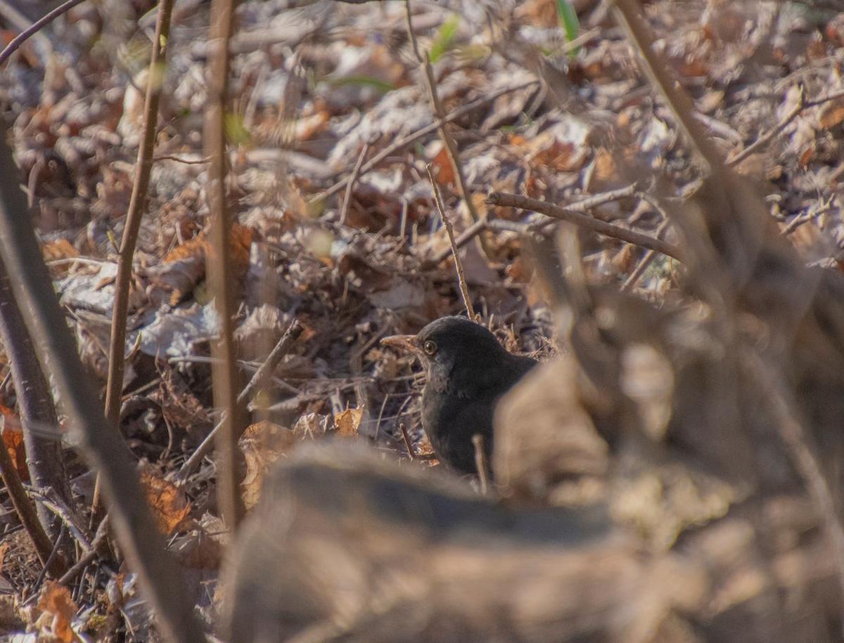 Illustreerival pildil võib kujutleda arutlevalt piiluvat musträstast enne kaklejate peale sööstmist. Foto: Joosep Ailiste