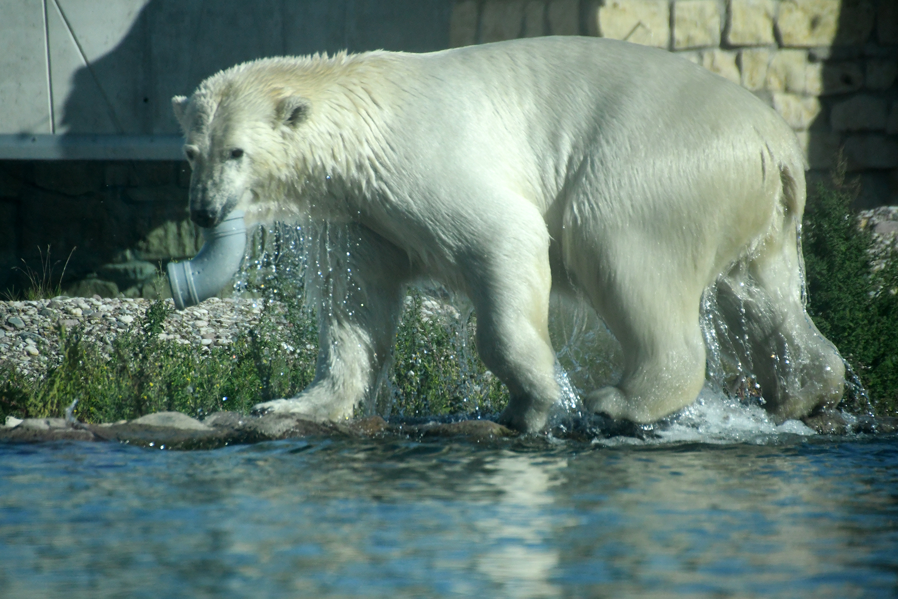 Jääkaru lõbutses ise ja lõbustas loomaaia Polaariumi külastajaid Tallinna Loomaaia 80. sünnipäeval. Foto Urmas Saard