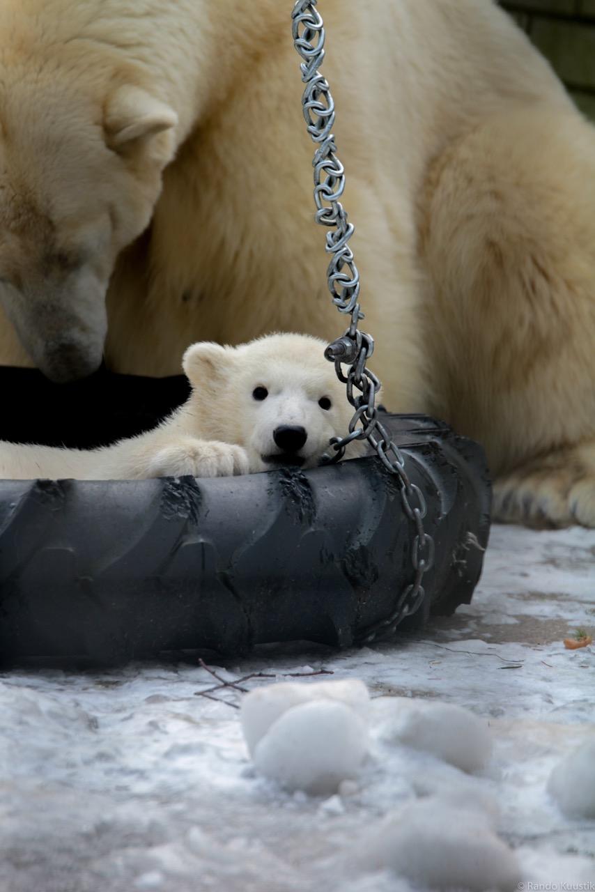 Jääkaruplika loomaaias. Foto: erakogu.