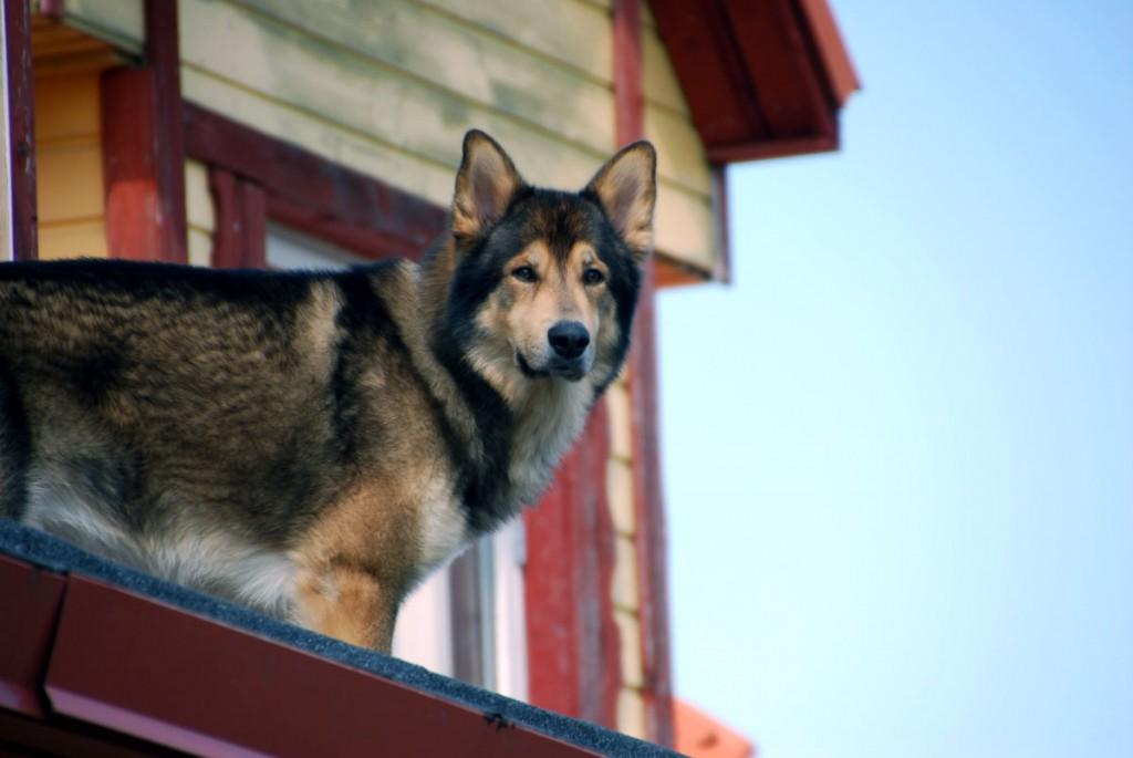 Koer katusel Foto Urmas Saard