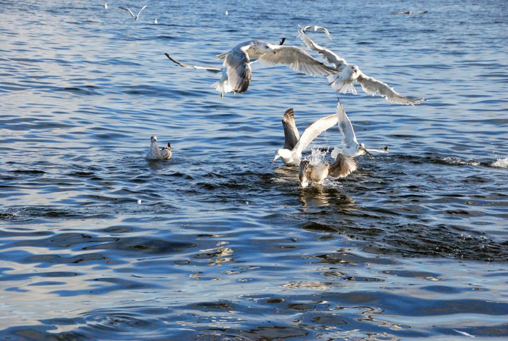 Linnud Kihnu madalal Foto Urmas Saard