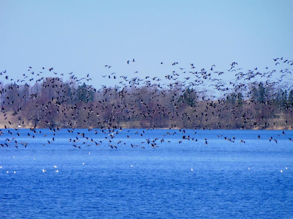 Linnud Saadjärve kohal. Foto Kärt Saard