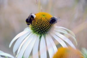 Mesilased õiel Foto Urmas Saard