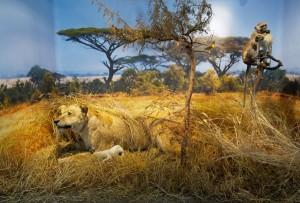 Savanni dioraam TÜ loodusmuuseumis. Aavo Kaine foto
