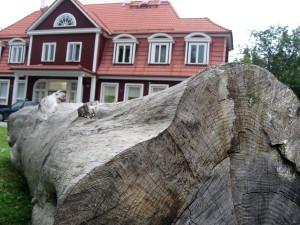 Septembris aastal 2008 Sindi noortekeskuse juurde veetud suured tüved muudeti toona väärtuslikeks puuskulptuurideks Foto Urmas Saard