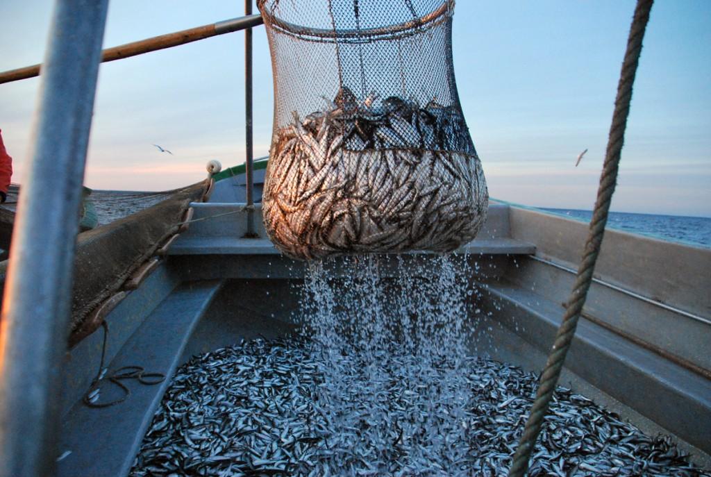 Serbaku abil tõstetakse räimed kakuami kastist laevale Foto Urmas Saard