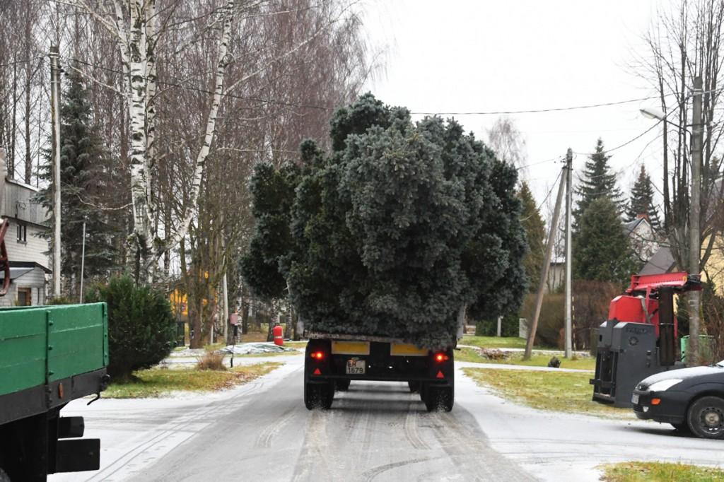 Sindis Pikal tänaval kasvanud hõbekuusk sõidab jõulupuuna sotsiaalkeskuse hoone juurde Foto Urmas Saard