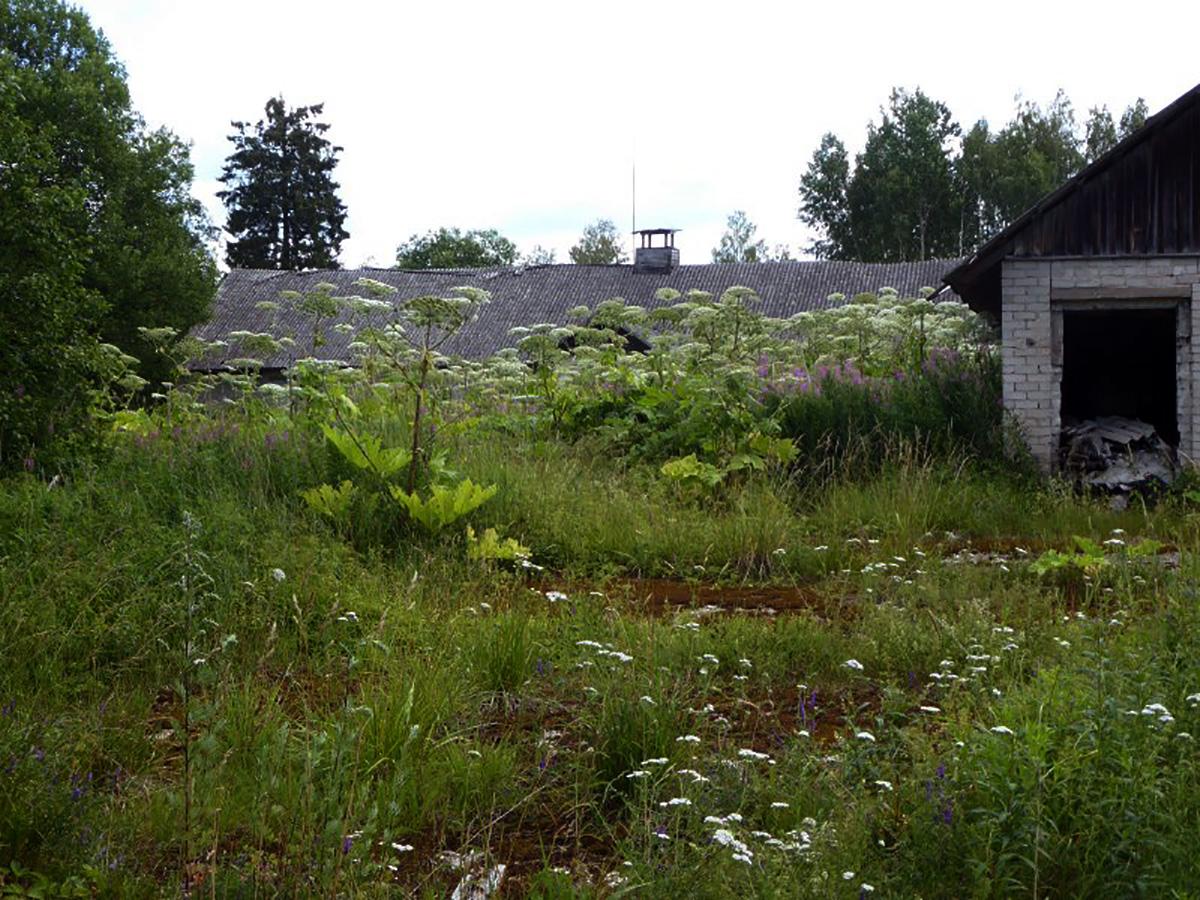 Sosnovski karuputk. Foto: Eike Vunk