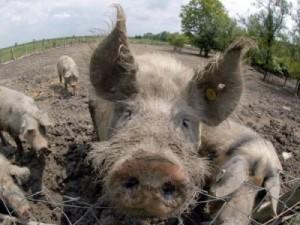 Swine-Fever-Hits-Tanzania