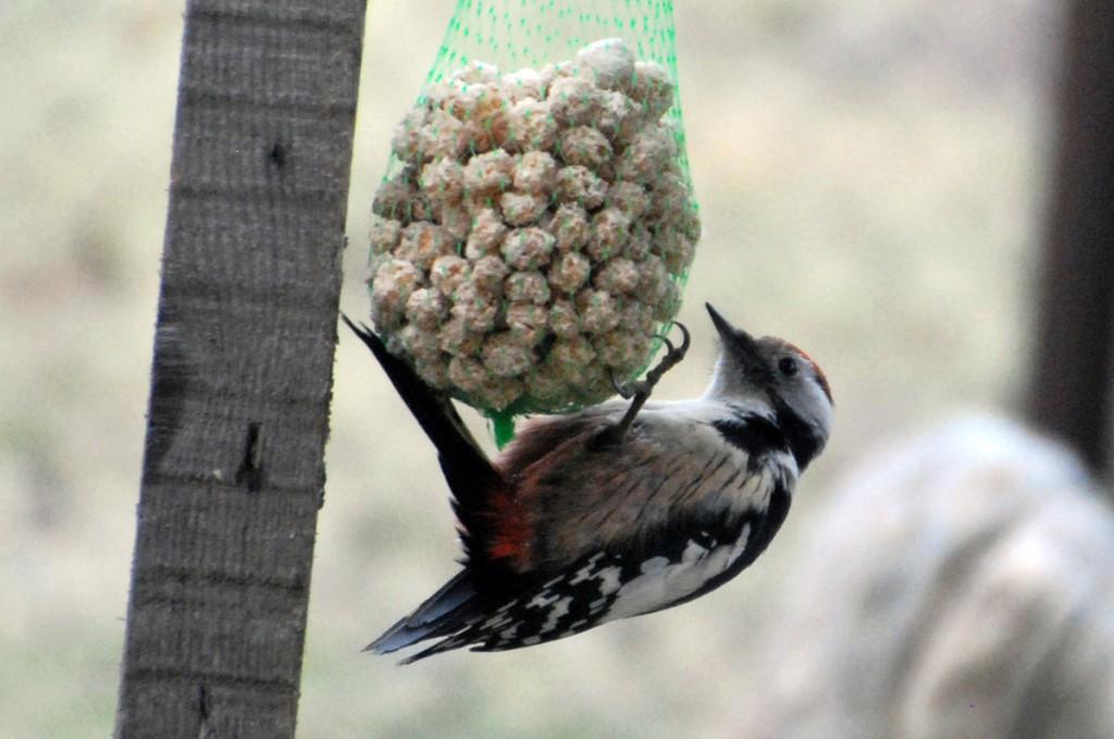 Tamme-kirjurähn pole just kõige tavalisem lind, aga teda kohtab siiski ka Sindis Raudtee ja Pärnu maante majade aedades, kus sööb hea meelega tihastele pandud pekki Foto Urmas Saard
