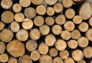 Tan_Ha_acacia_wood_logs