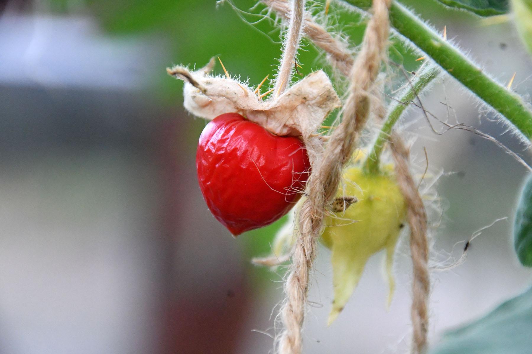 Vilja kandev unilook-maavits meenutab väliselt mõneti füüsalit, maitselt pigem tomatit. Foto Urmas Saard