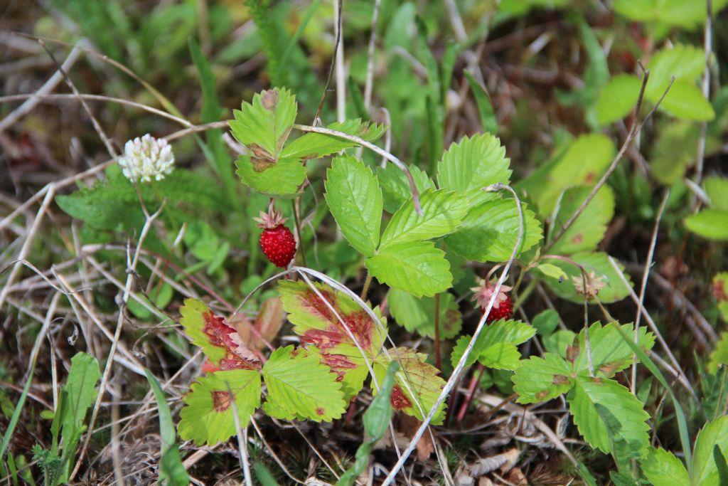 Metsmaasikasuvi lõhnab ja maitseb. Foto: Kylauudis.ee